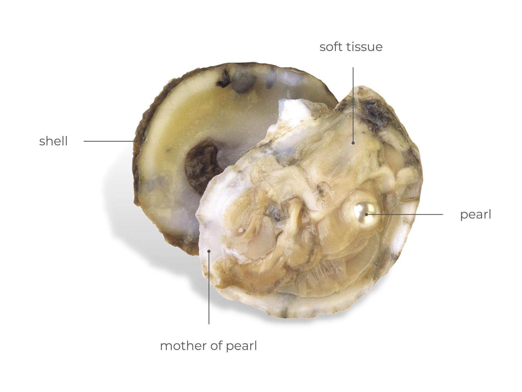 Anatomy Of Pearl Oyster | Diamond Buzz